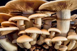 Benefits of Shiitake Mushroom